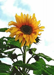 Sunflower-1-Liz-Miller